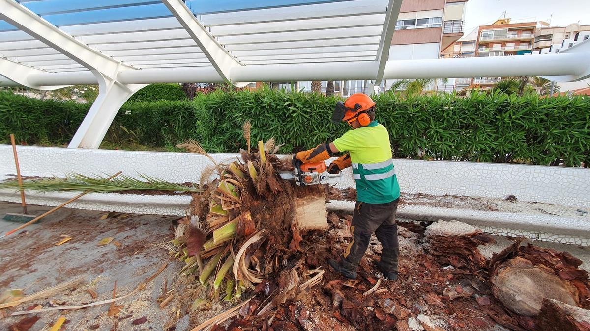 Trabajos de retirada de la corona de la palmera en el Paseo Vista Alegre de Torrevieja