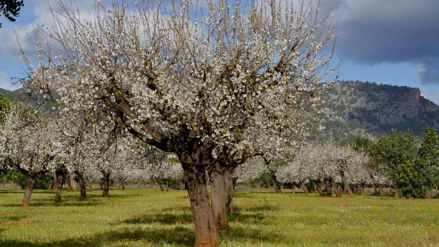 Feuerbakterium: Madrid verbietet den Anbau typischer Mandel-Sorten auf Mallorca