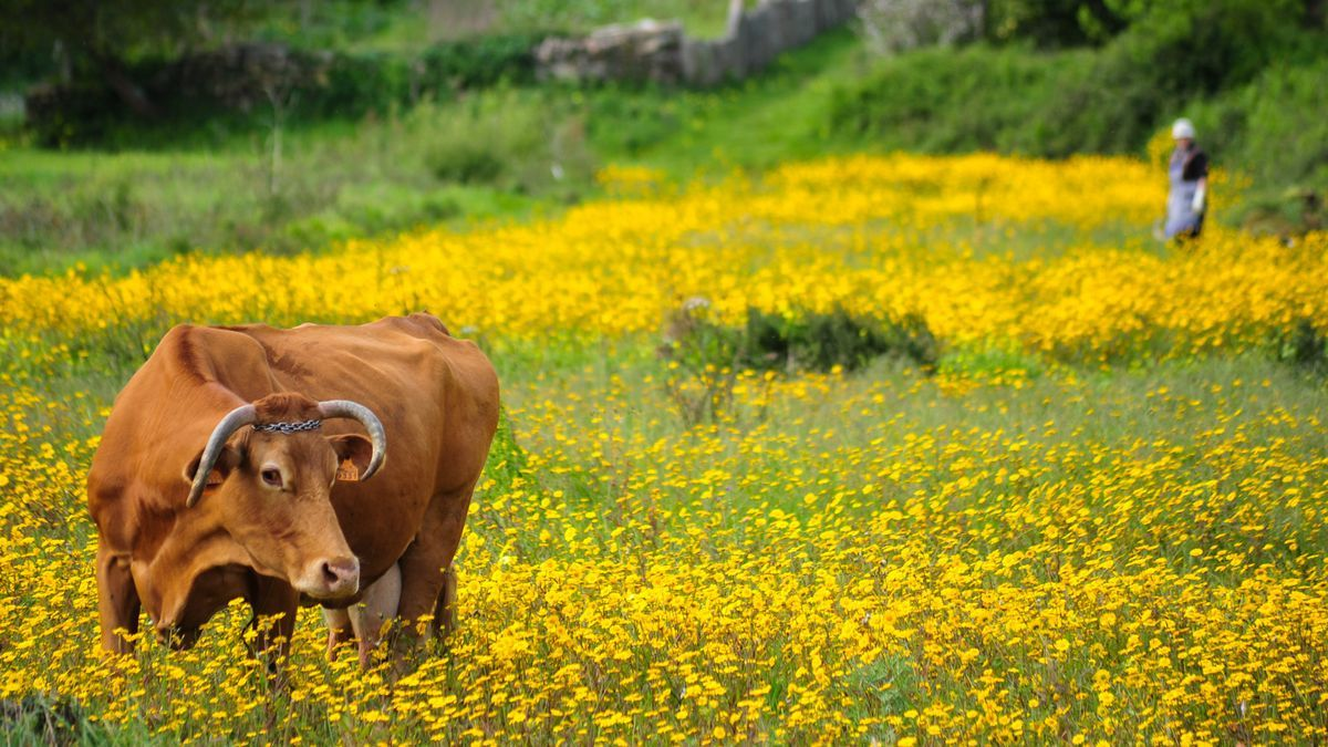 Una vaca, en una finca en Galicia.