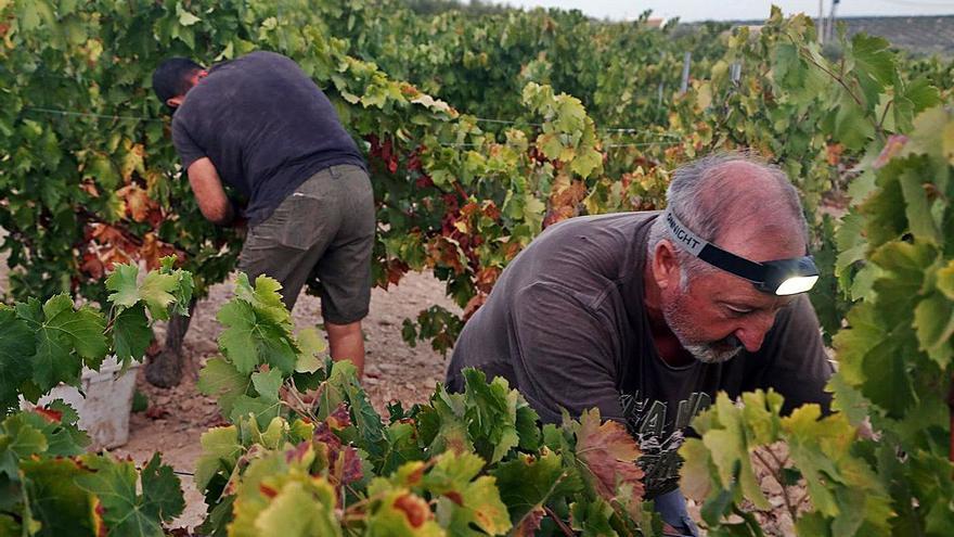 Grupo Pérez Barquero culmina la vendimia para vinos jóvenes de Montilla-Moriles