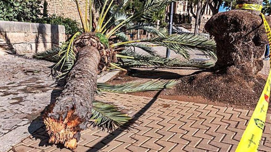 Mor una dona a Palma en caure-li               a sobre una palmera pel fort vent