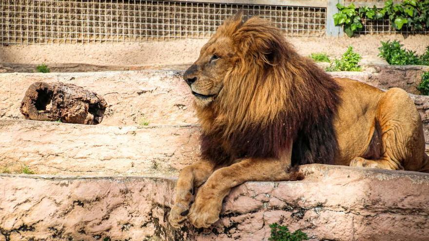 Estudian si cuatro leones que se contagiaron de Covid-19 en Barcelona han creado anticuerpos