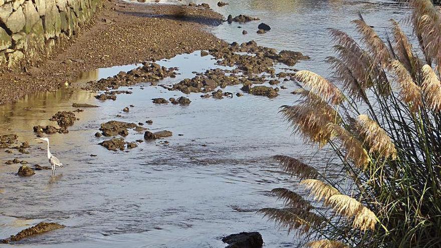 Los plumachos ya invaden ríos y estuarios como en O Burgo