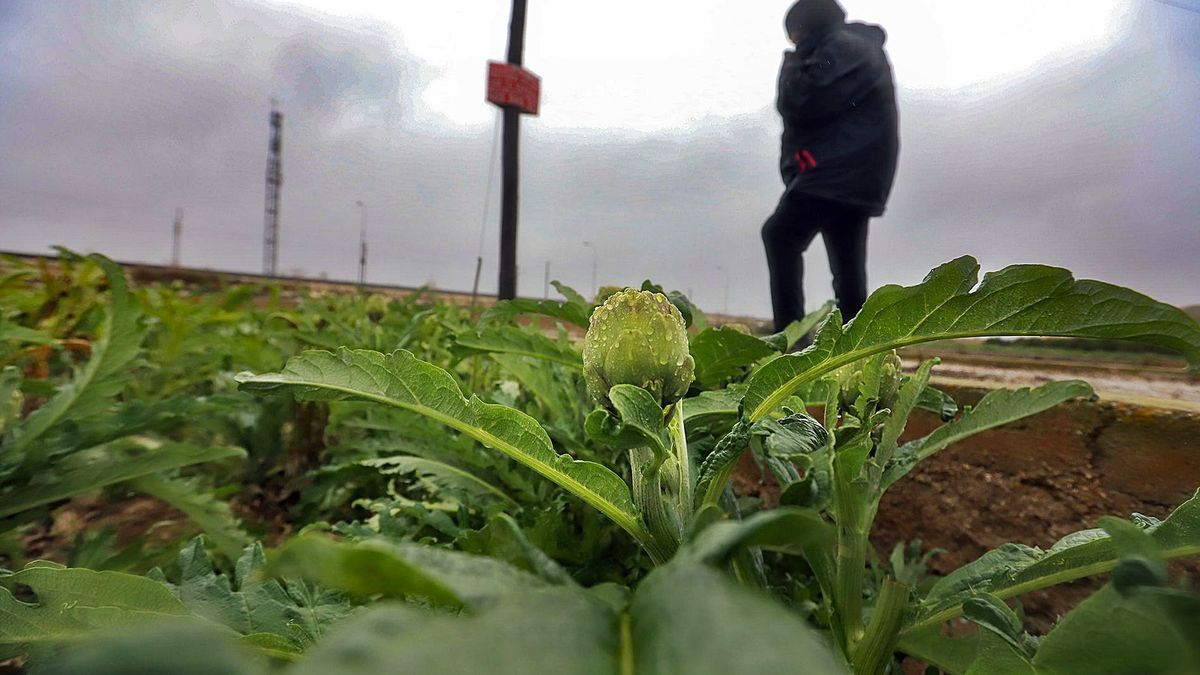 A terrace of artichokes from the traditional Orihuela garden, watered by the rains of the last few days.  |  TONY SEVILLA