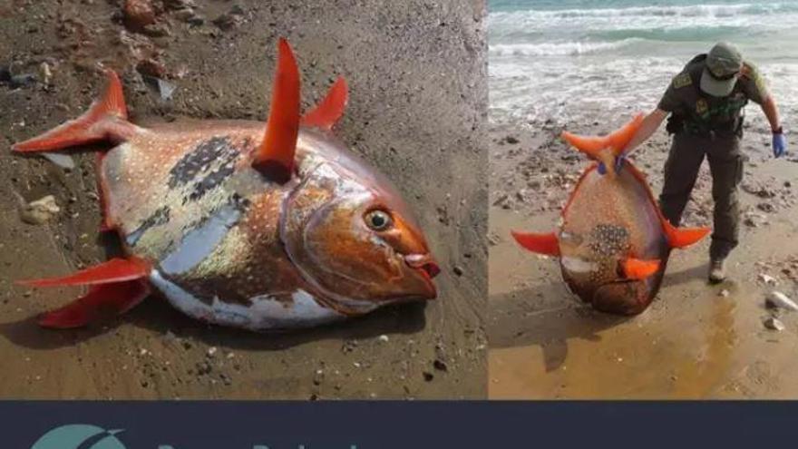 Hallan muerto a orillas del mar en Calblanque un pez luna rojo de 35 kilos