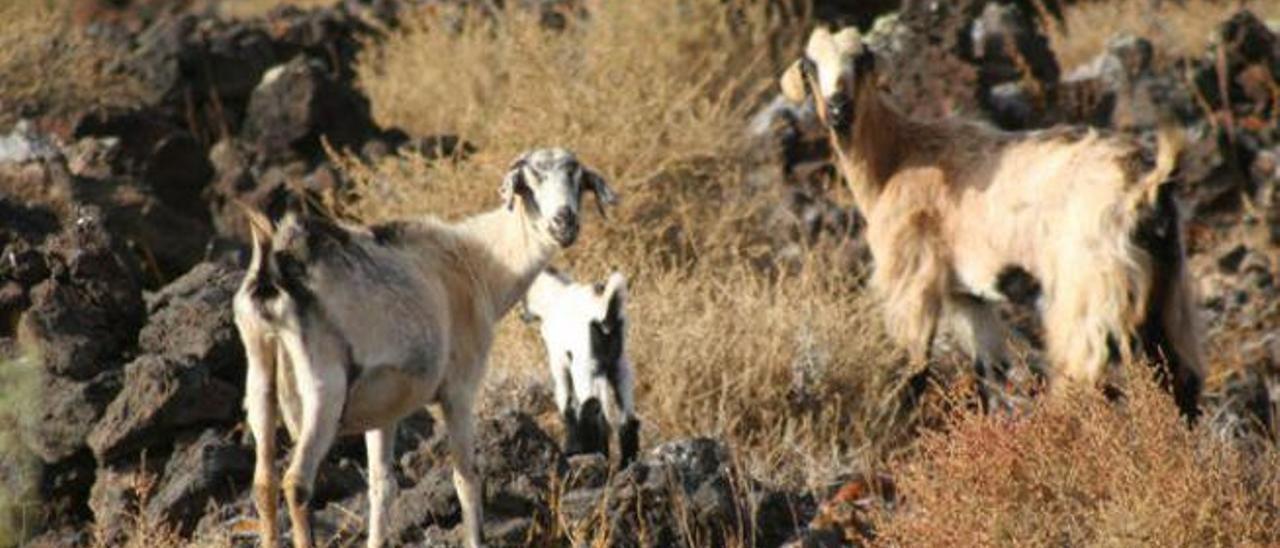 Betancuria usará armas para eliminar las cabras que pasten sin control