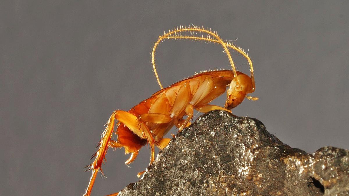 Ejemplar de cucaracha ciega Symploce de Gran Canaria. Fotos: Manuel Naranjo/Heriberto López