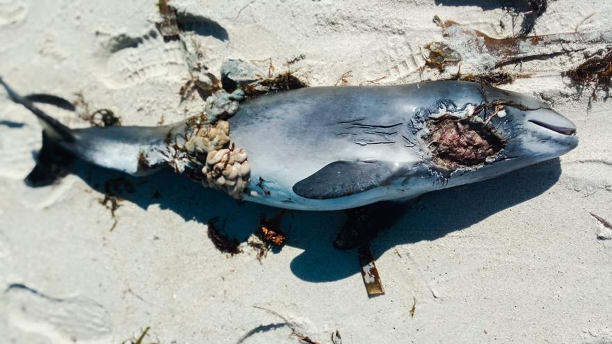Aparece una cría de cetaceo varada en Paxariñas