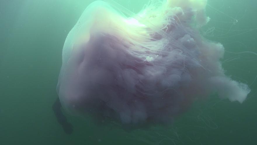 Una medusa gigante se pasea por la ría de Vigo