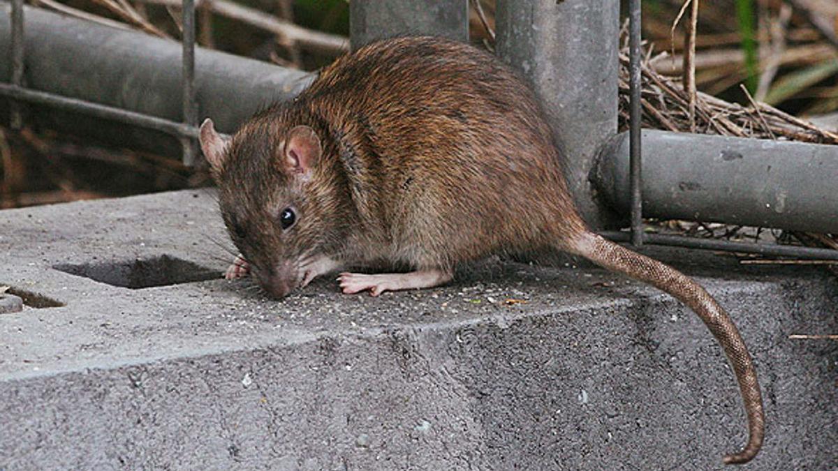 Els últims anys han augmentat els incidents provocats per rates en entorns urbans.  