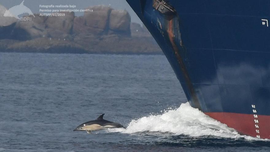 Un delfín mular surfeando en la boca de la ría de Arousa ante un remolcador.