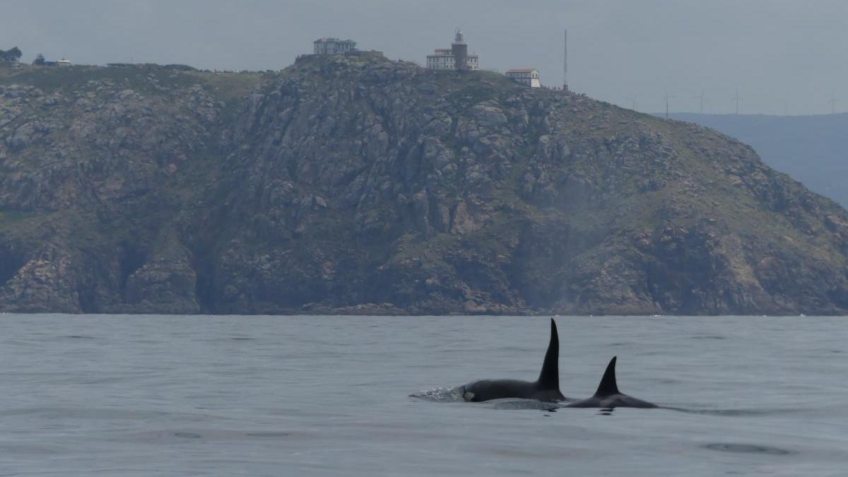 Orcas a su paso por Fisterra en el año 2019. // Cemma