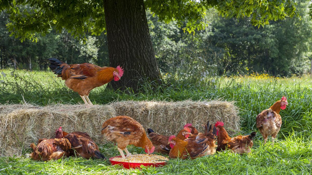 Coren promueve la crianza con salida libre al campo en producciones de Pollo y Huevos de Corral, Selecta y ecológicas.