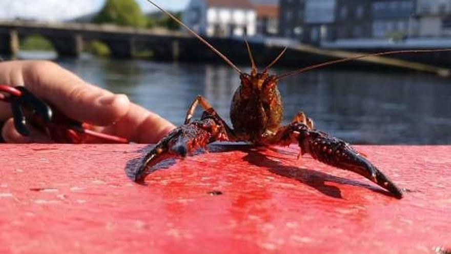 Los valeiros cierran una campaña de lamprea marcada por la Covid y el cangrejo americano