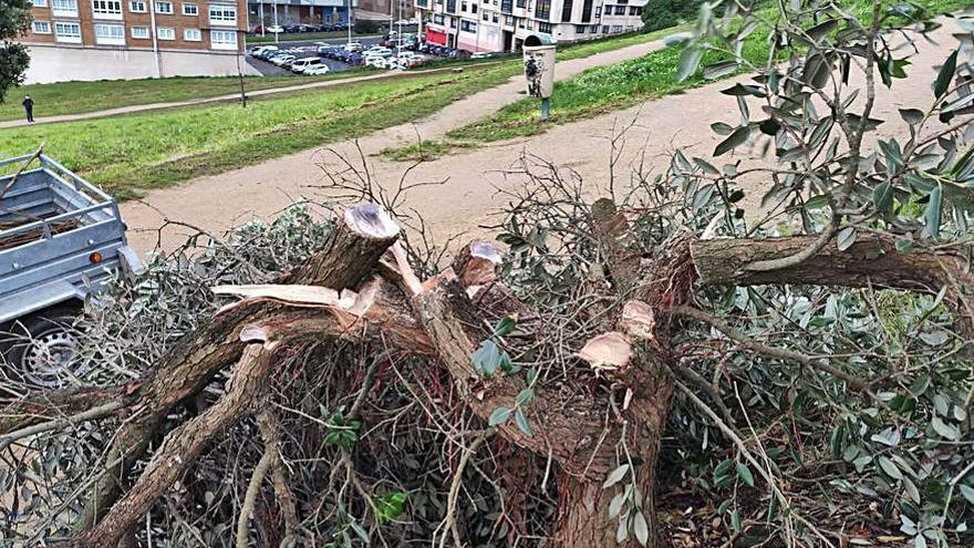 Aparecen cortados varios ejemplares de metrosidero en el monte de San Pedro
