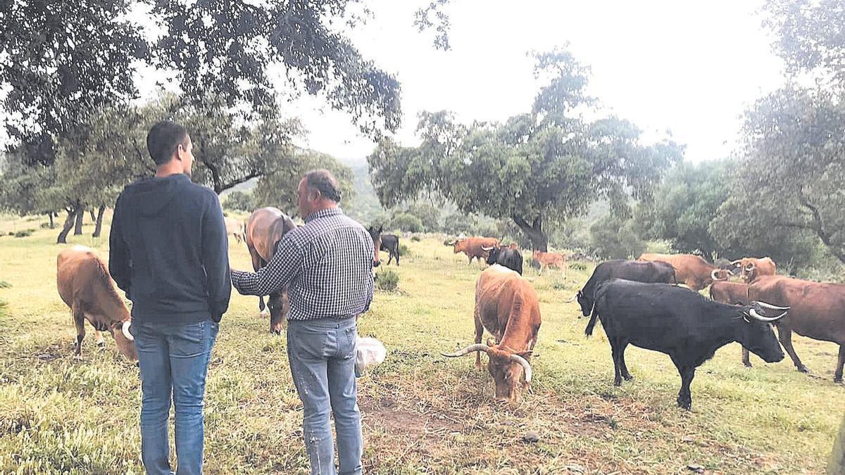 Las peñas taurinas visitan ganaderías de toro bravo por toda España para escoger los astados a exhibir en breve.