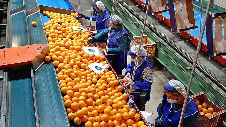 Las cooperativas citrícolas aceleran fusiones para competir con grandes firmas y fondos