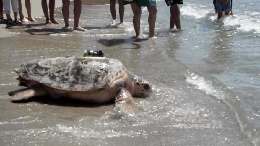 La increíble historia  de Colomera, la tortuga gigante soltada en Orpesa
