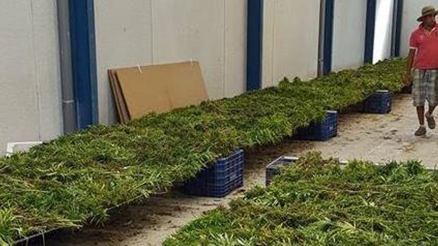 Una multinacional canadiense compra el productor valenciano de cannabis Cafina