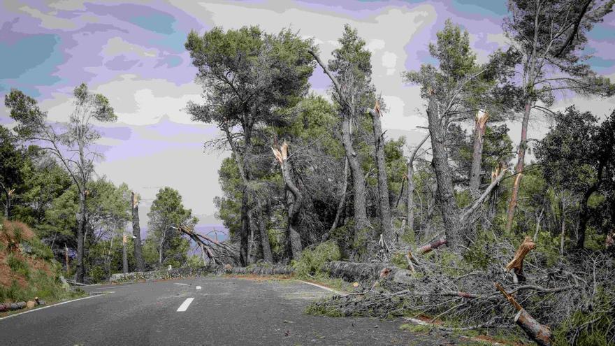 El 'cap de fibló' del pasado agosto en  la Tramuntana afectó a 300.000 árboles