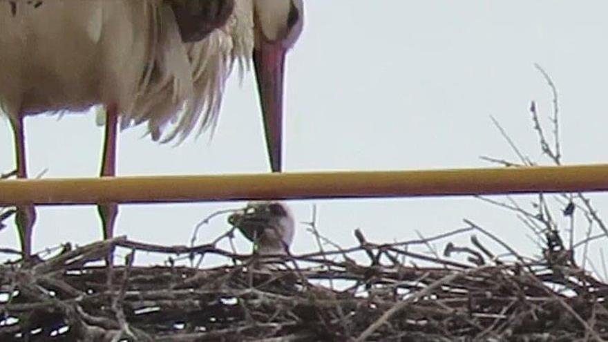 La familia de cigüeñas Auria, Ramón y sus crías, en grave peligro por la grúa en la que anidan
