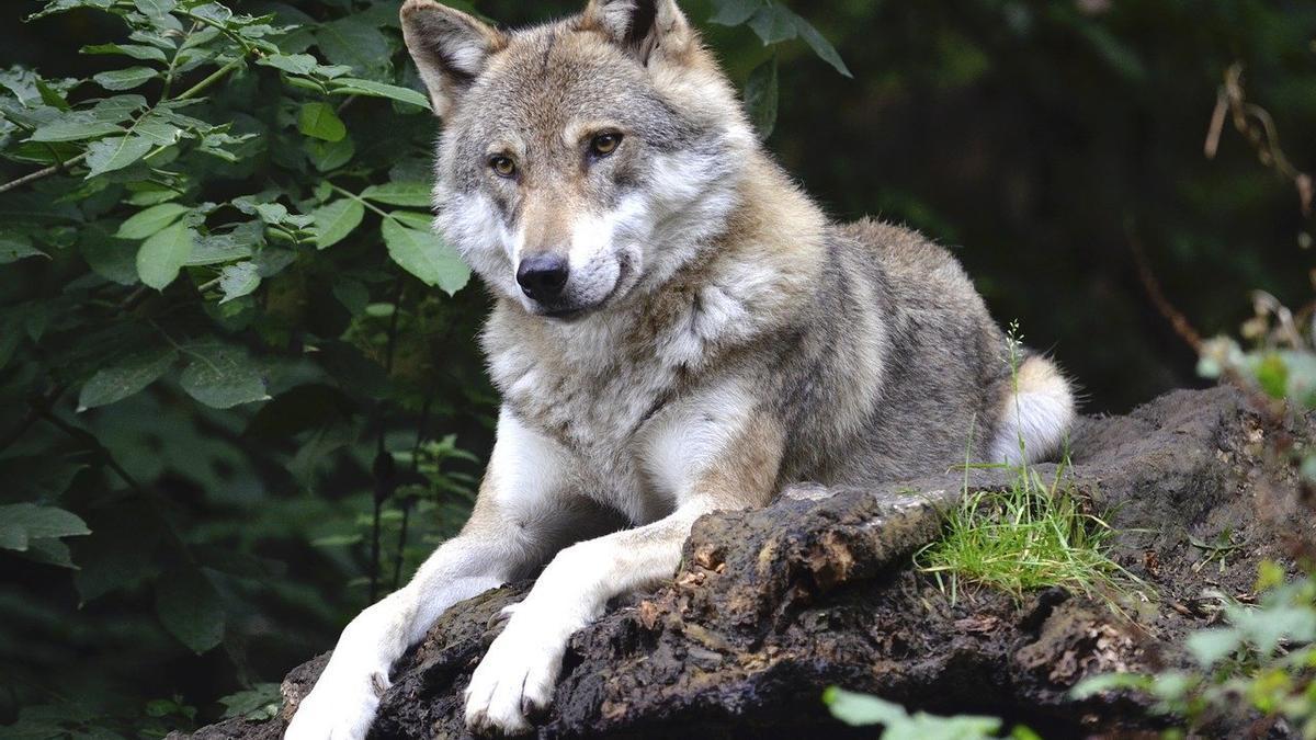 Fotografía de un lobo