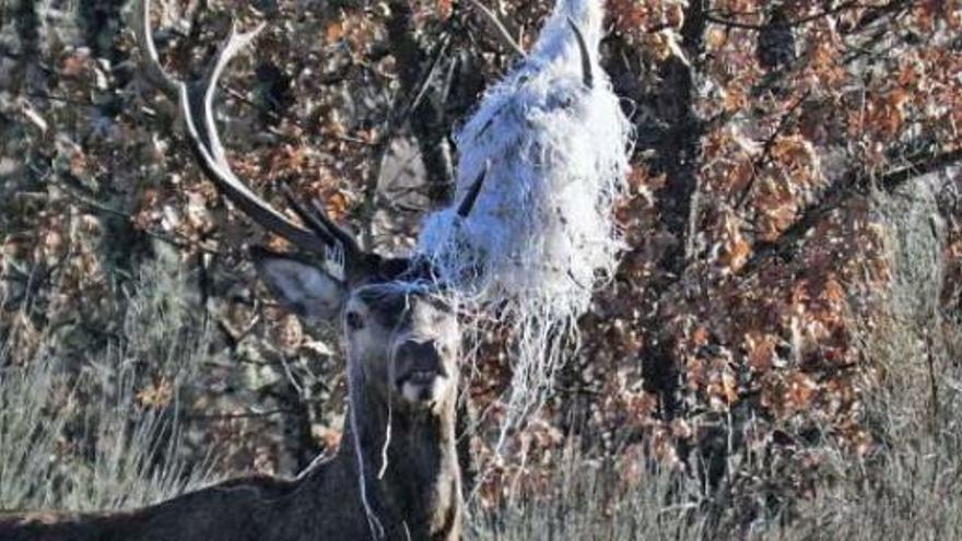 Un ciervo en apuros en Sanabria