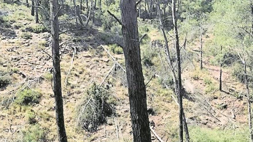 La Conselleria ve «difícil» retirar los pinos muertos del bosque de Torás