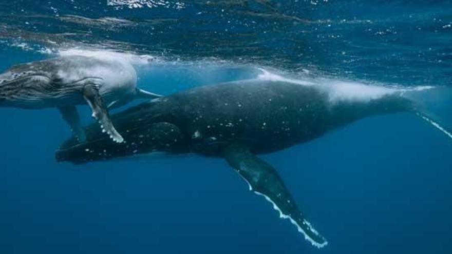 Hallan fósiles de una ballena anfibia de cuatro patas