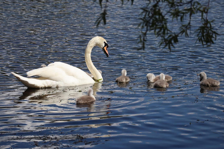 'Baby boom' de cignes al llac de Puigcerdà