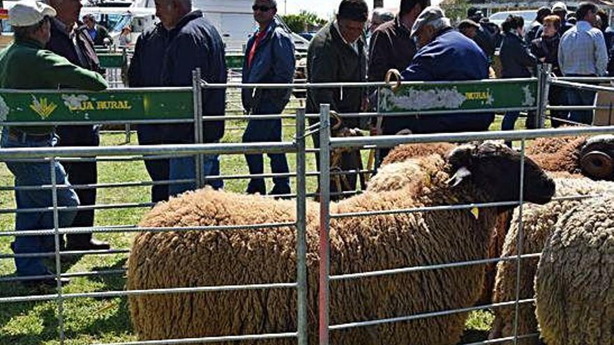 Exposición de ejemplares de ovino en una anterior feria de raza castellana en Carbajales.