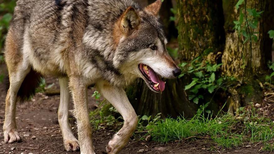 El lobo va a acabar ante el juez