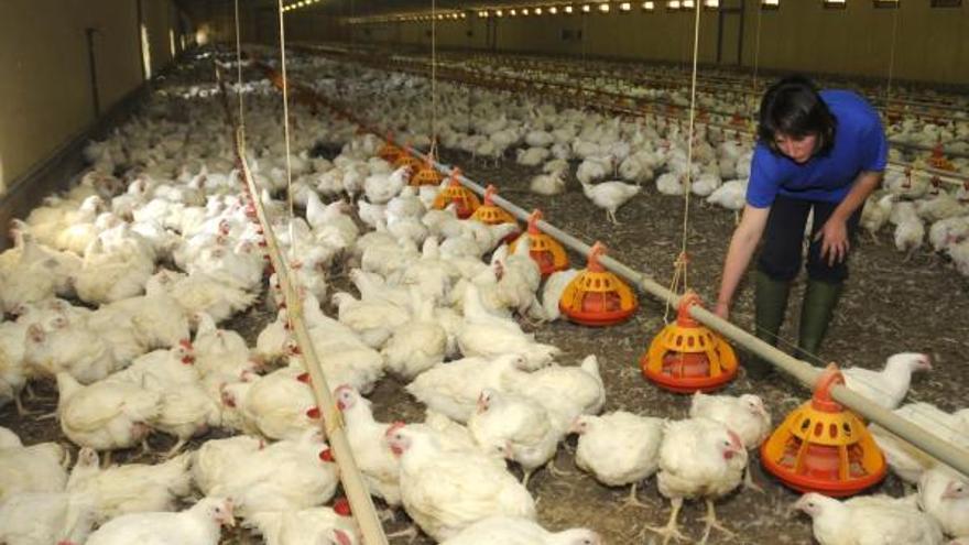 Los productores declaran la 'guerra del pollo' a grandes cadenas de alimentación