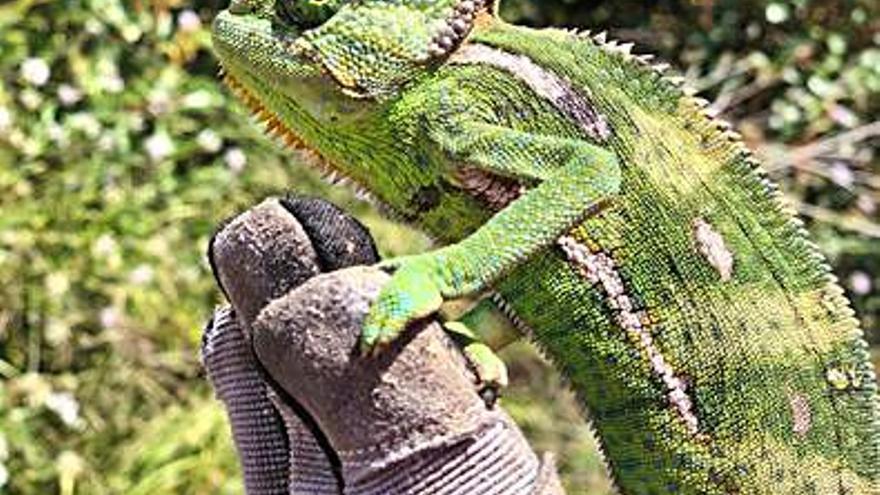 Medio Ambiente captura más de  50 ejemplares  de camaleón de Yemen