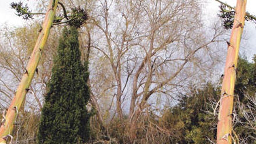 Diese Pflanzen haben auf Mallorca nichts verloren