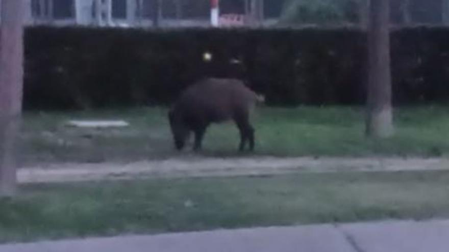 Vídeo: Un senglar es passeja pe Platja d'Aro
