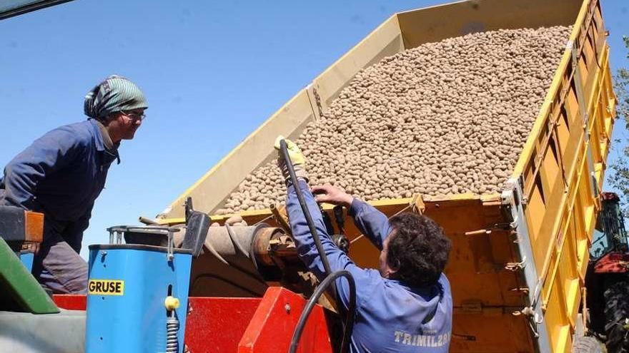 La prohibición de plantar patata se prorrogará en los 33 concellos afectados por la plaga