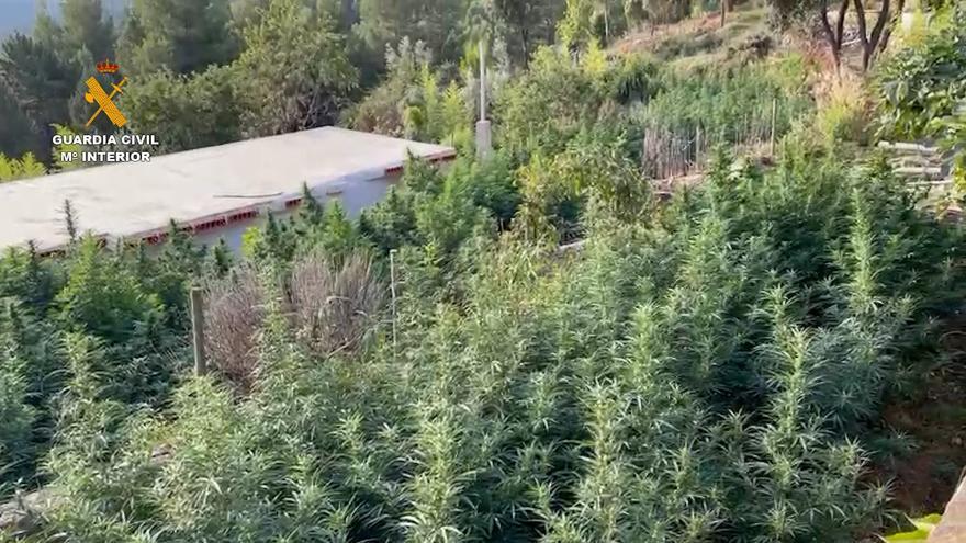 A prisión dos personas por cultivar 590 plantas de marihuana en Puertomingalvo