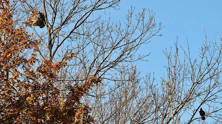Un gran nido de velutina en Aldán