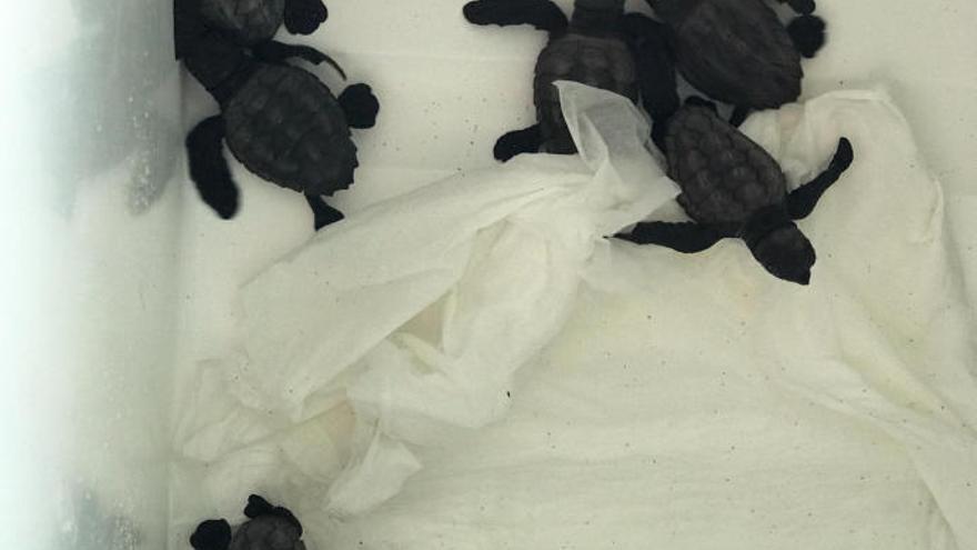 Nacen en Ibiza 10 tortugas marinas del nido de es Cavallet