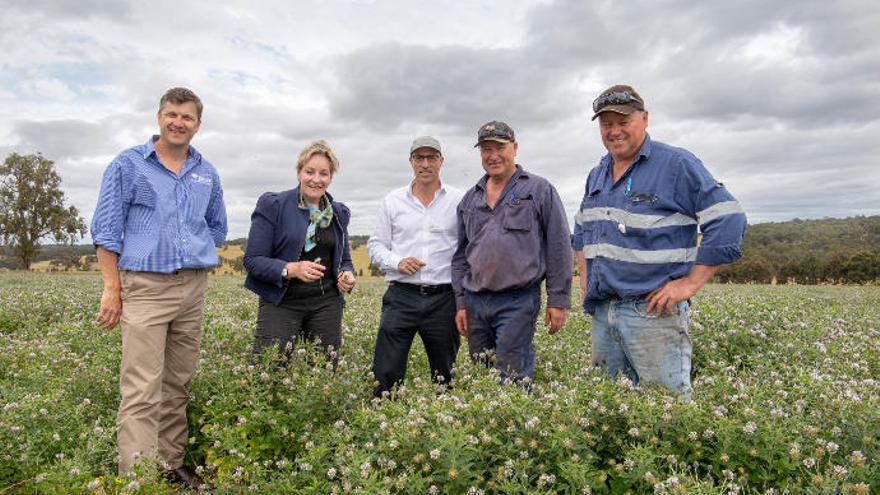 Las ovejas australianas comen tedera canaria