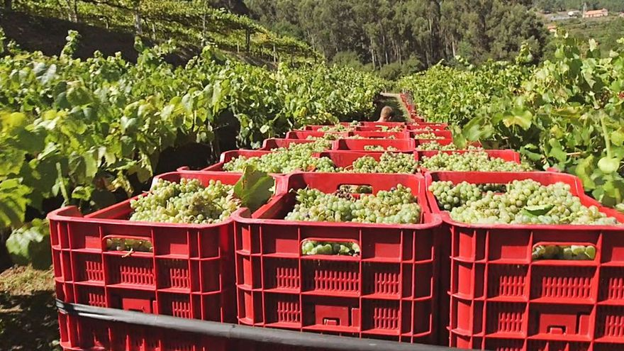 Arbo, terra de viños con 12 adegas industrializadas e leais á tradición