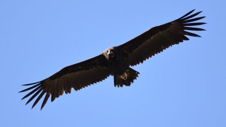 El buitre negro logra duplicar su población en Castilla y León en veinte años