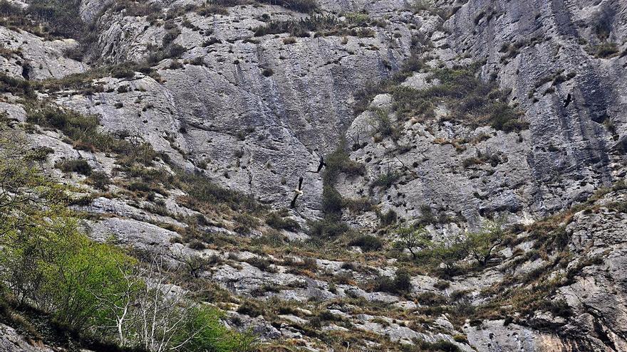El Principado restringe la escalada en el peñón de Figares para proteger los nidos