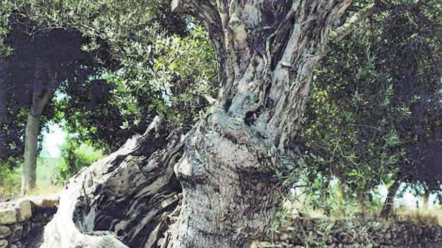 El largo viaje del olivo