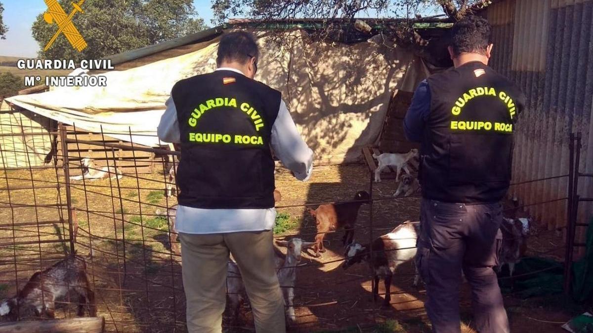 Un ganadero de Arroyo de San Serván simula el robo de 50 cabras para cobrar el seguro