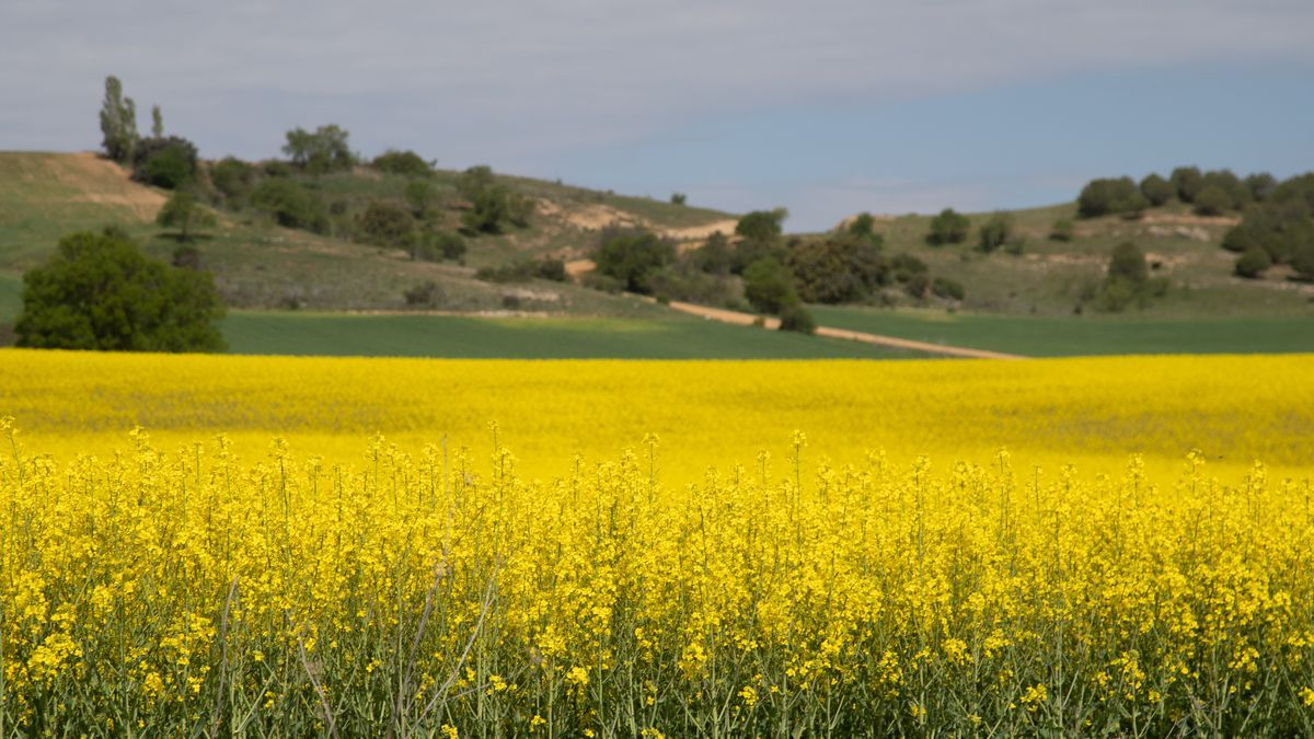 GALERÍA | La primavera tiñe de amarillo los campos de Zamora