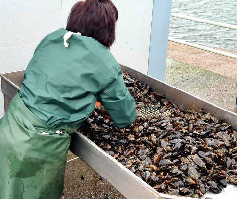 Selección del producto durante el proceso de control en puerto de la DOP Mexillón de Galicia.
