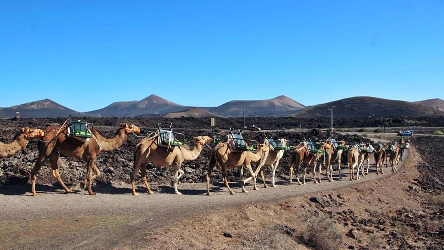 Los camelleros piden cobrar 20 euros por viaje en Timanfaya para subsistir
