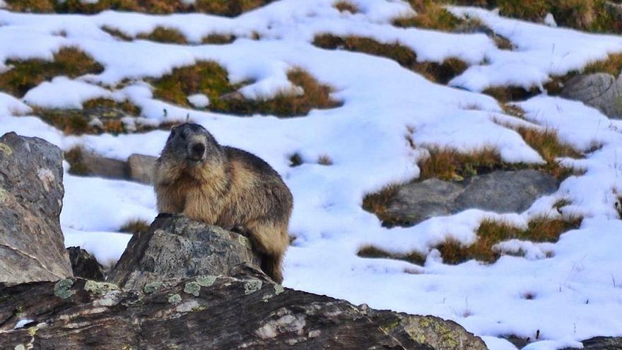 Un estudi constata que les marmotes es comuniquen amb llenguatges diferenciats